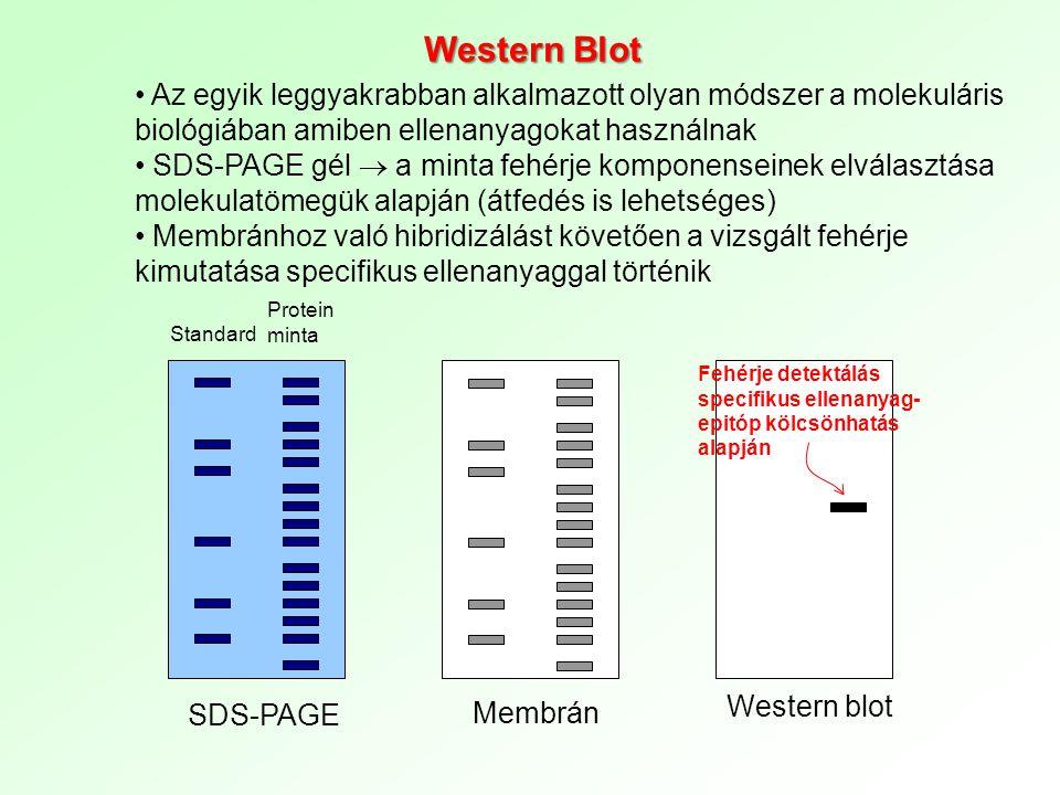 egy adott fehérje jelenléteSegítségével egy adott fehérje jelenléte kimutatható a mintában elektroforézis SDS-PAGE)/, membránra transzferáljákAz egymástól elektroforézissel elszeparált fehérjéket /Sodium Dodecyl Sulfate-Polyacrylamide Gel Electrophoresis (SDS-PAGE)/, membránra transzferálják Primer ellenanyagot (monoklonálisPrimer ellenanyagot (monoklonális vagy poliklonális) használnak a vizsgált fehérje kimutatásához anti-foszfotirozin at (pl., anti-foszfotirozin at) szekunder ellenanyagEnzimmel (pl.