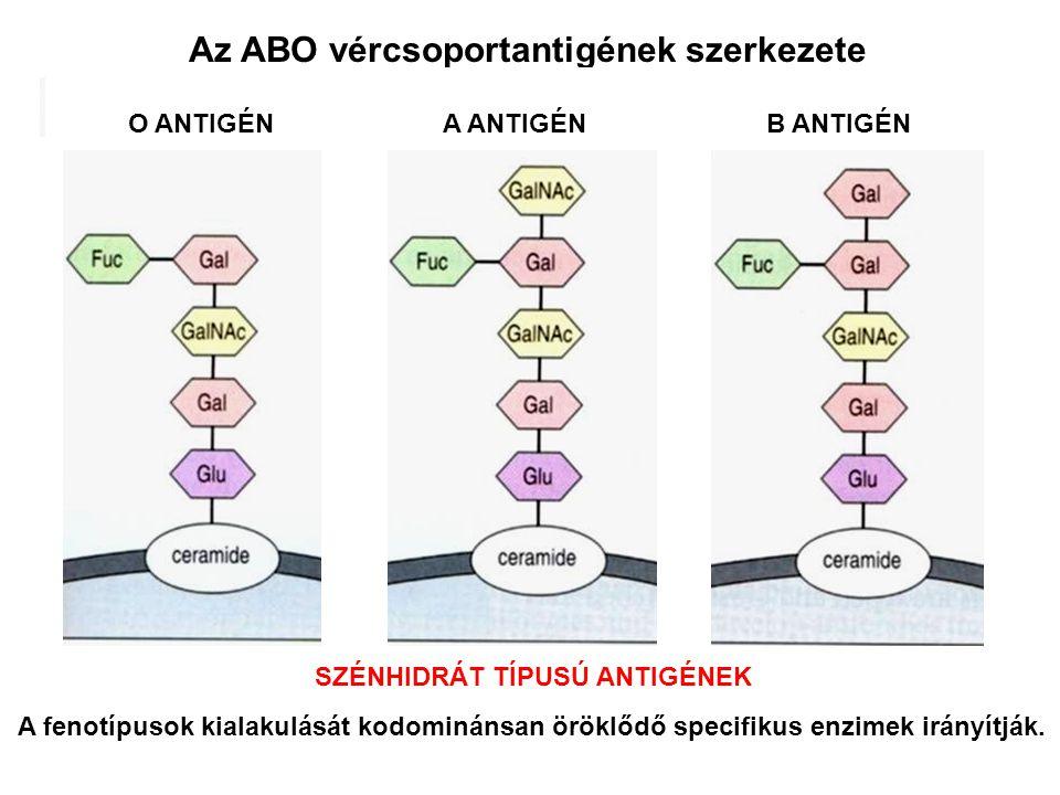 Az ABO vércsoportantigének szerkezete A fenotípusok kialakulását kodominánsan öröklődő specifikus enzimek irányítják. O ANTIGÉNA ANTIGÉNB ANTIGÉN SZÉN