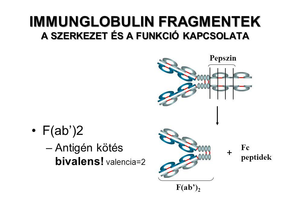 Pepszin Fc peptidek F(ab') 2 –Antigén kötés bivalens.