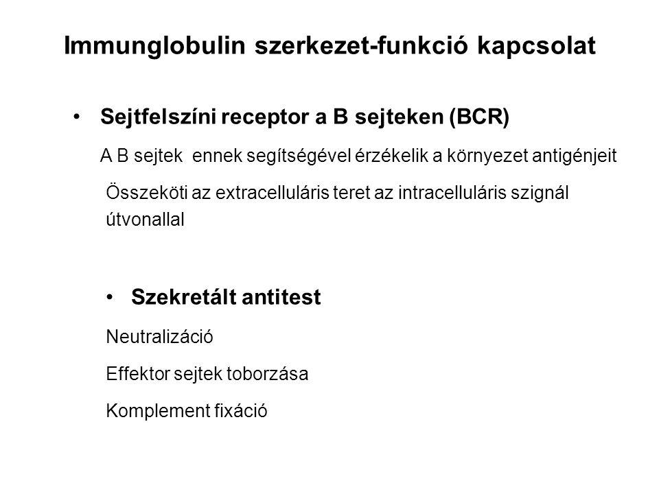 Sejtfelszíni receptor a B sejteken (BCR) A B sejtek ennek segítségével érzékelik a környezet antigénjeit Összeköti az extracelluláris teret az intrace