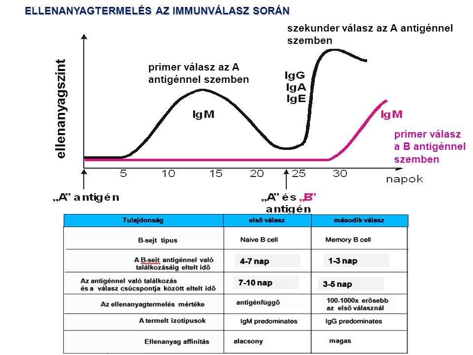 szekunder válasz az A antigénnel szemben primer válasz az A antigénnel szemben ellenanyagszint primer válasz a B antigénnel szemben ELLENANYAGTERMELÉS AZ IMMUNVÁLASZ SORÁN