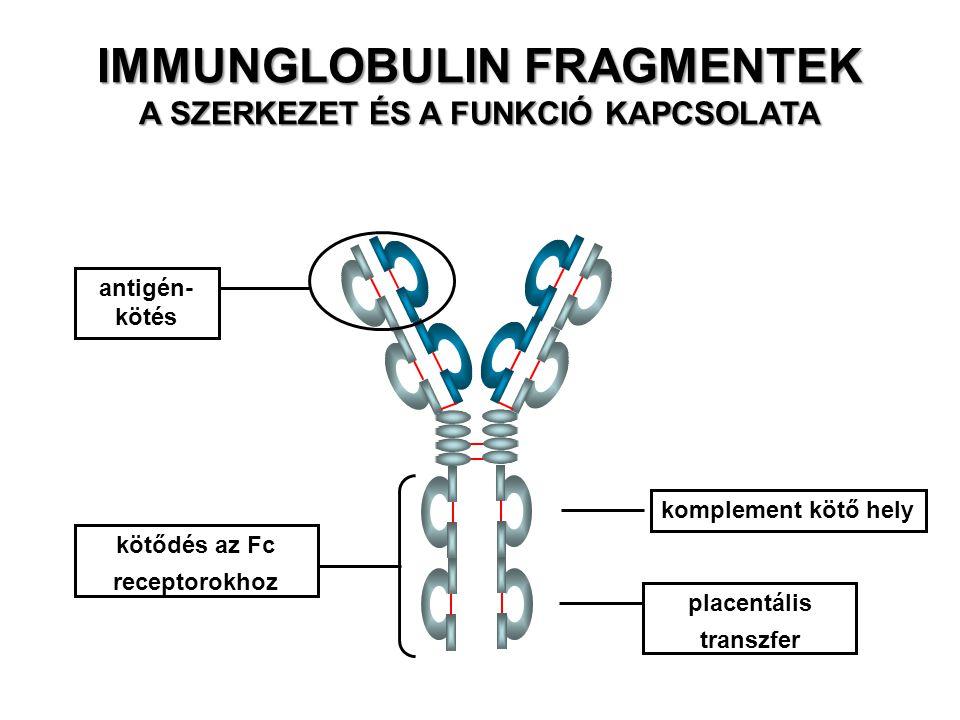 IMMUNGLOBULIN FRAGMENTEK A SZERKEZET ÉS A FUNKCIÓ KAPCSOLATA antigén- kötés komplement kötő hely placentális transzfer kötődés az Fc receptorokhoz
