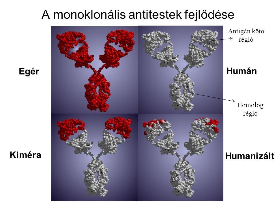 A monoklonális antitestek fejlődése Egér Kiméra Humán Humanizált Antigén kötő régió Homológ régió