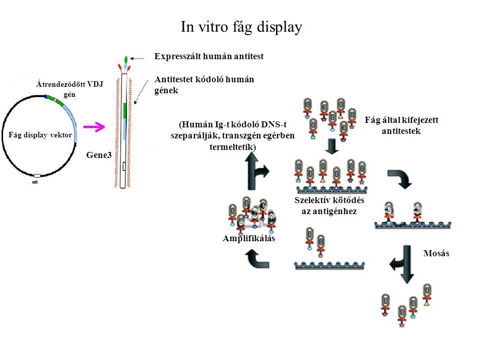 In vitro fág display Szelektív kötődés az antigénhez Mosás Amplifikálás Fág által kifejezett antitestek (Humán Ig-t kódoló DNS-t szeparálják, transzgén egérben termeltetik) Gene3 Expresszált humán antitest Antitestet kódoló humán gének Fág display vektor Átrendeződött VDJ gén