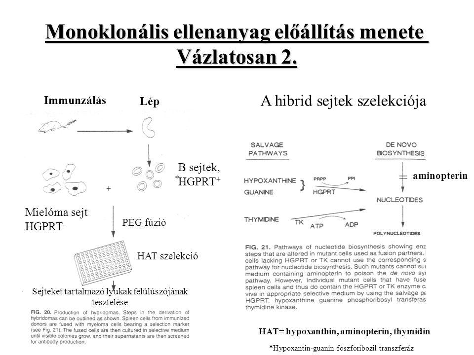 Lép Immunzálás Mielóma sejt HGPRT - B sejtek, HGPRT + PEG fúzió HAT szelekció Sejteket tartalmazó lyukak felülúszójának tesztelése Monoklonális ellenanyag előállítás menete Vázlatosan 2.