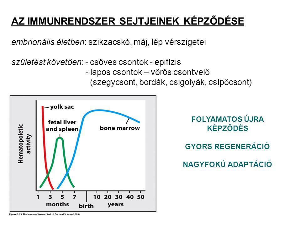 eredet: csontvelői pluripotens előalakok limfoid progenitor fejlődés: tímuszban (csecsemőmirigy) lokalizáció: a timociták a tímuszban (elsődleges nyirokszerv) érnek immunkompetens T-sejtekké, a perifériás nyirokszervekbe már TCR-t hordozó T limfocitaként jutnak csak az APC-k által, az MHC molekulákban bemutatott antigéneket ismerik fel fő típusai: - T segítő (CD4+) - T citotoxikus (CD8+) - T regulátor (szuppresszor) T LIMFOCITÁK