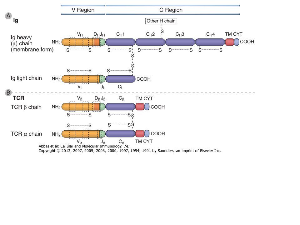Az immunoglobulin szerkezete Könnyű és nehéz láncok Diszulfid hidak – láncok közötti – láncon belüli Variabilis és konstans régiók Kapocs régió Domének – V L & C L – V H & C H1 - C H3 (C H4 pl.