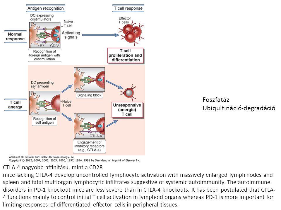Foszfatáz Ubiquitináció-degradáció CTLA-4 nagyobb affinitású, mint a CD28 mice lacking CTLA-4 develop uncontrolled lymphocyte activation with massivel