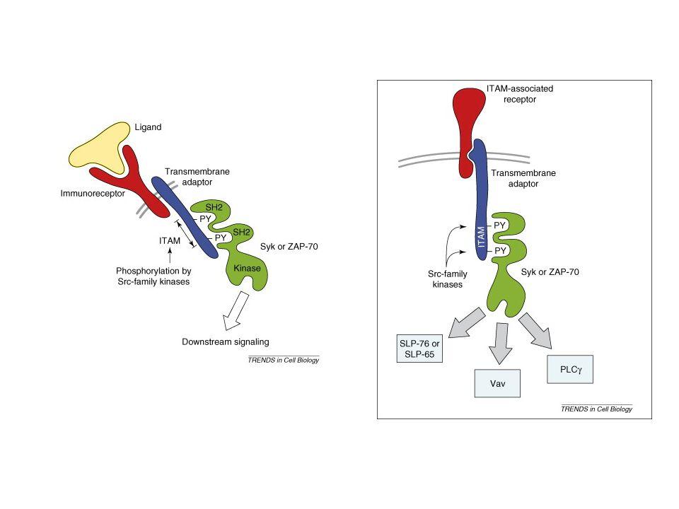 BCR-Igα/Igβ komplex