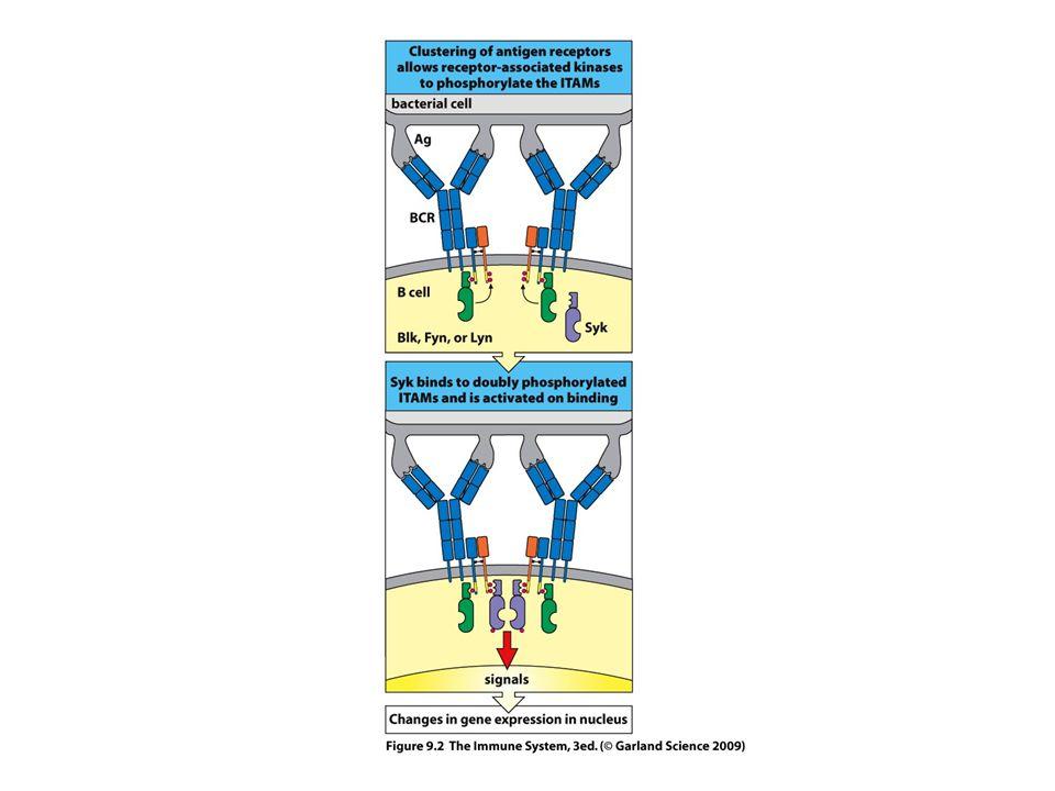 --ligand kötődés --receptor aggregáció (?) --src-k foszforilálják az ITAM motívumot --syk/Zap70 kötődik a duplán foszforilált ITAM-hez --syk/Zap70 aktiváció—downsteram lépések BCR-TCR aktiválódás