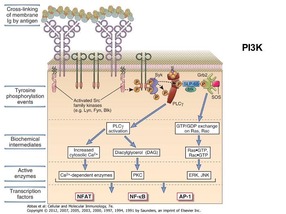 Koreceptorok: T-sejt, CD4, CD8, B-sejt CD19 (CR2-CD21) Kostimulátor molekulák:pl.CD28 (kostimulátor nem ismeri fel ugyanazt a komplexet mint az antigén receptor- szemeben a koreceptorral)