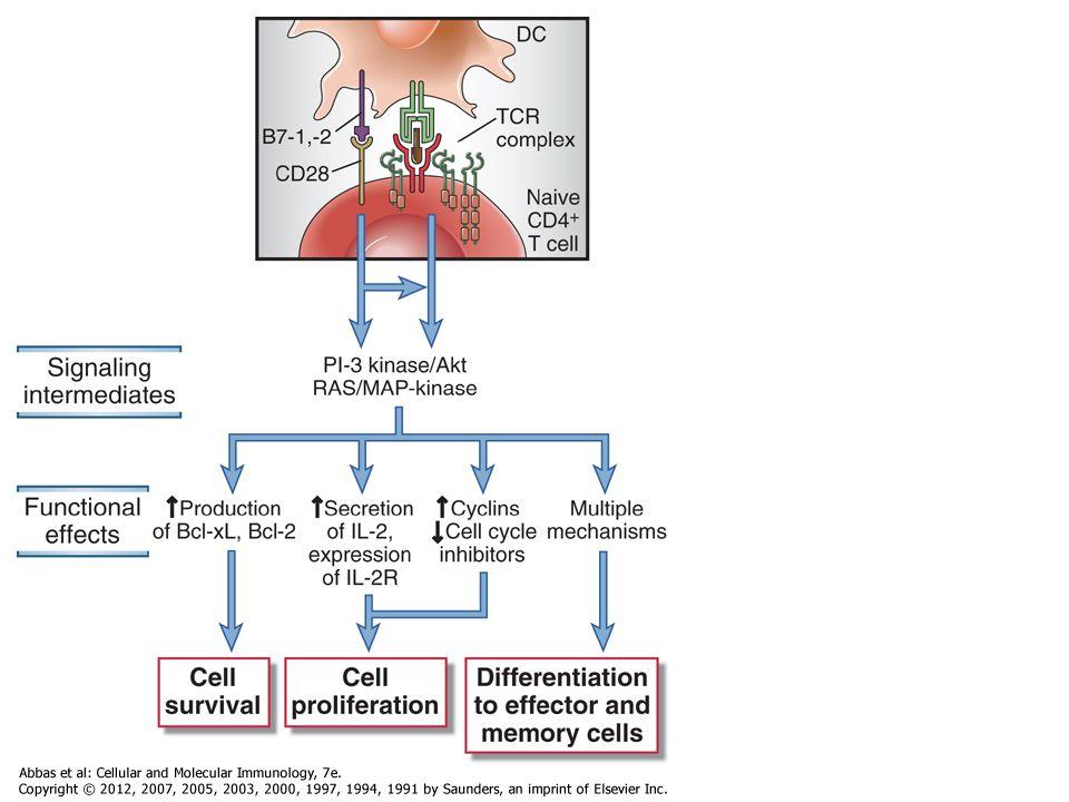 Gátló receptorok: T-sejt :CTLA-4,PD-1 B-sejt: CD22, FcγRIIB, Ubiquitináció foszfatázok Jel gátlás