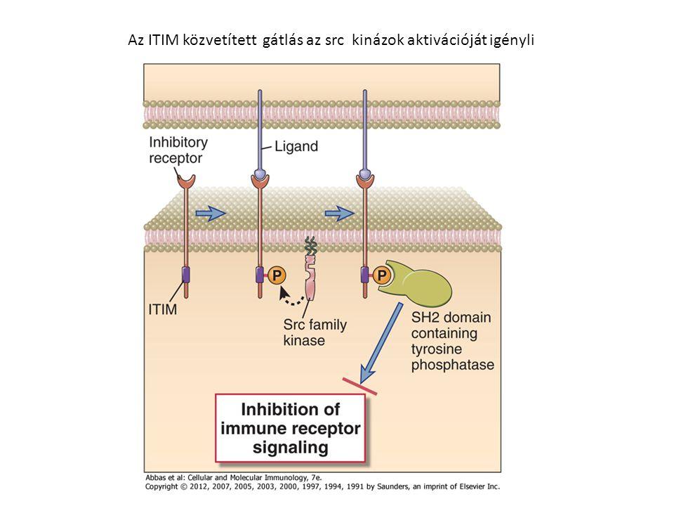 Az ITIM közvetített gátlás az src kinázok aktivációját igényli