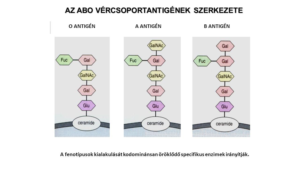 AZ ABO VÉRCSOPORTANTIGÉNEK SZERKEZETE A fenotípusok kialakulását kodominánsan öröklődő specifikus enzimek irányítják. O ANTIGÉNA ANTIGÉNB ANTIGÉN