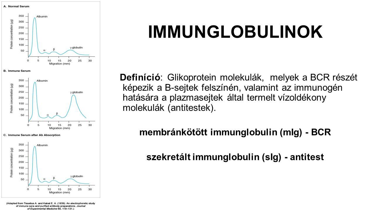 IMMUNGLOBULINOK Definíció: Glikoprotein molekulák, melyek a BCR részét képezik a B-sejtek felszínén, valamint az immunogén hatására a plazmasejtek ált