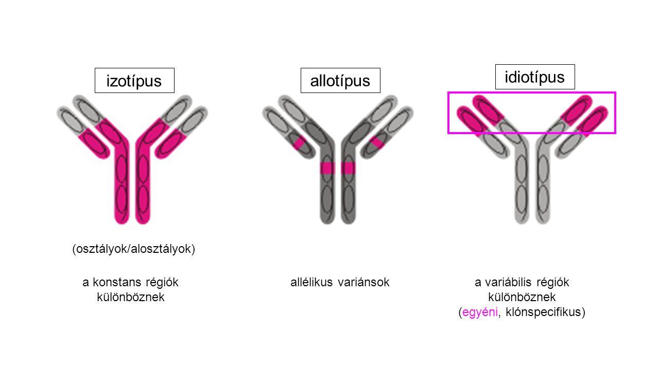 (osztályok/alosztályok) a konstans régiók különböznek a variábilis régiók különböznek (egyéni, klónspecifikus) allélikus variánsok izotípus idiotípus