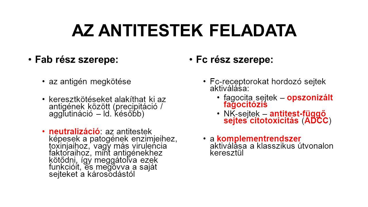 AZ ANTITESTEK FELADATA Fab rész szerepe: az antigén megkötése keresztkötéseket alakíthat ki az antigének között (precipitáció / agglutináció – ld. kés