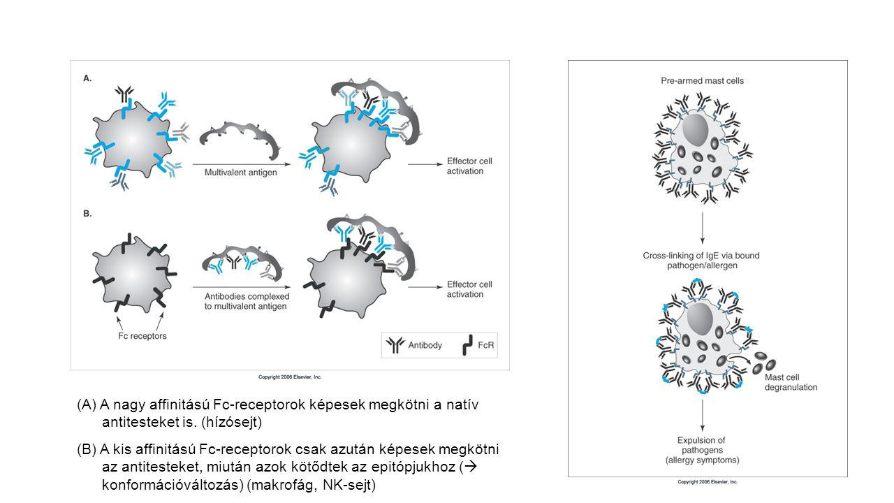 (A) A nagy affinitású Fc-receptorok képesek megkötni a natív antitesteket is. (hízósejt) (B) A kis affinitású Fc-receptorok csak azután képesek megköt