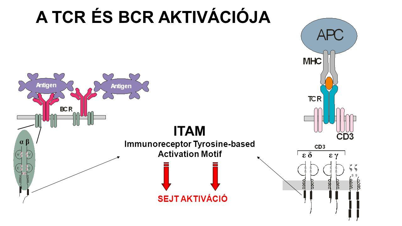 α β ε δ ε γ ζ ITAM Immunoreceptor Tyrosine-based Activation Motif SEJT AKTIVÁCIÓ A TCR ÉS BCR AKTIVÁCIÓJA