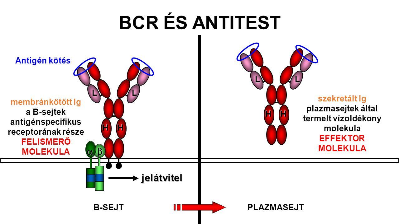 HH LL HH LL szekretált Ig plazmasejtek által termelt vízoldékony molekula EFFEKTOR MOLEKULA membránkötött Ig a B-sejtek antigénspecifikus receptorának