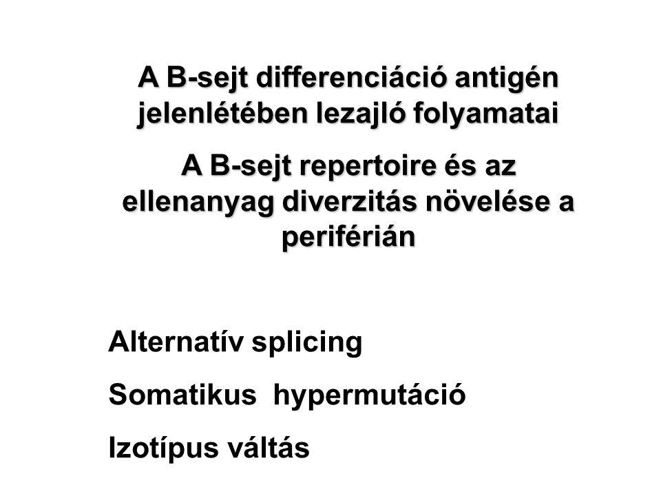 A B-sejt differenciáció antigén jelenlétében lezajló folyamatai A B-sejt repertoire és az ellenanyag diverzitás növelése a periférián Alternatív splicing Somatikus hypermutáció Izotípus váltás