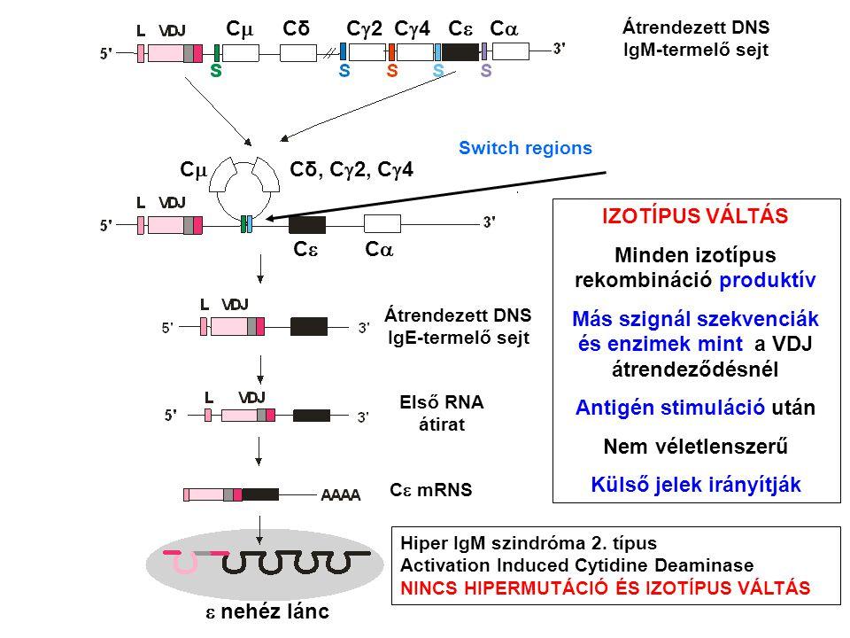 Átrendezett DNS IgM-termelő sejt Átrendezett DNS IgE-termelő sejt Első RNA átirat C  mRNS  nehéz lánc C  Cδ C  2 C  4 C  C  CC Cδ, C  2, C  4 C  C  Switch regions IZOTÍPUS VÁLTÁS Minden izotípus rekombináció produktív Más szignál szekvenciák és enzimek mint a VDJ átrendeződésnél Antigén stimuláció után Nem véletlenszerű Külső jelek irányítják Hiper IgM szindróma 2.