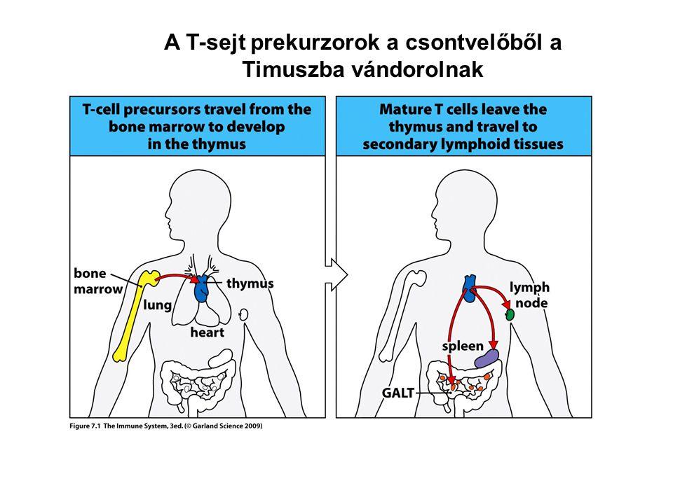 A T-sejt prekurzorok a csontvelőből a Timuszba vándorolnak