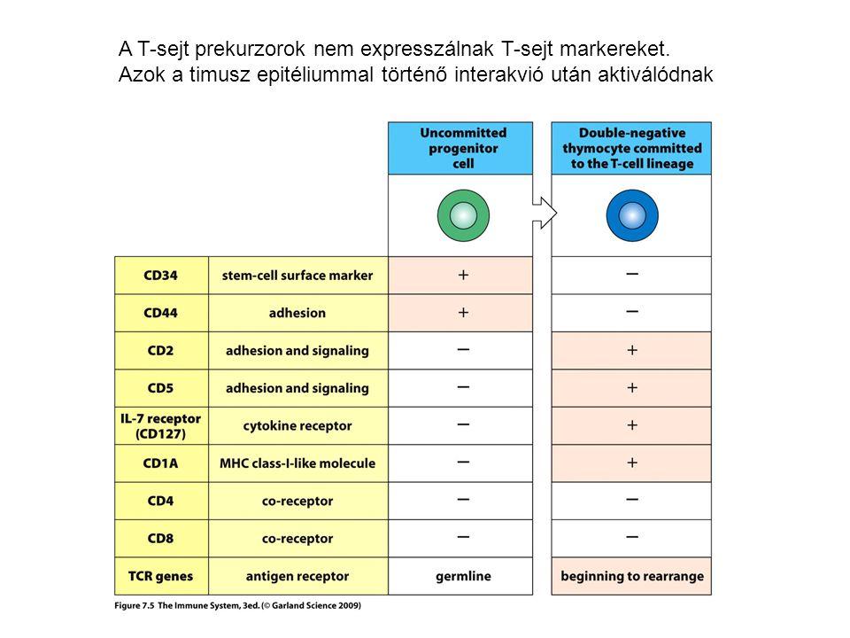 A T-sejt prekurzorok nem expresszálnak T-sejt markereket.