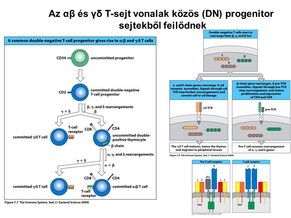 Az αβ és γδ T-sejt vonalak közös (DN) progenitor sejtekből fejlődnek