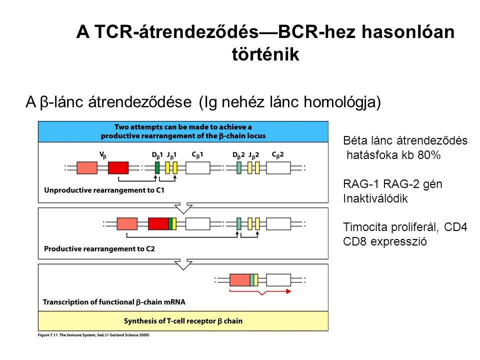 A β-lánc átrendeződése (Ig nehéz lánc homológja) A TCR-átrendeződés—BCR-hez hasonlóan történik Béta lánc átrendeződés hatásfoka kb 80% RAG-1 RAG-2 gén Inaktiválódik Timocita proliferál, CD4 CD8 expresszió