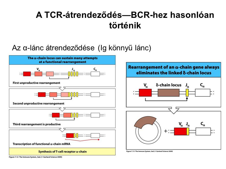 Az α-lánc átrendeződése (Ig könnyű lánc) A TCR-átrendeződés—BCR-hez hasonlóan történik
