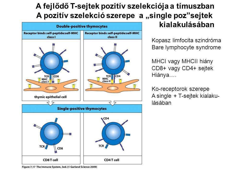 """A pozitív szelekció szerepe a """"single poz sejtek kialakulásában Kopasz limfocita szindróma Bare lymphocyte syndrome MHCI vagy MHCII hiány CD8+ vagy CD4+ sejtek Hiánya…."""