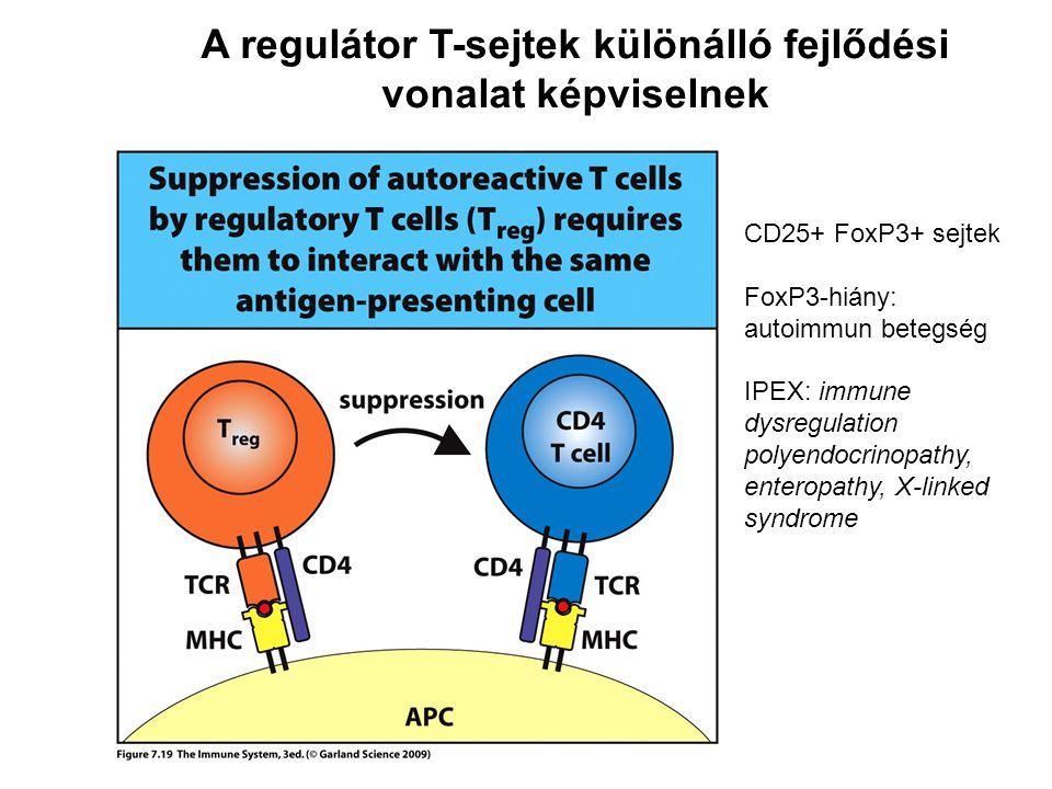 A regulátor T-sejtek különálló fejlődési vonalat képviselnek CD25+ FoxP3+ sejtek FoxP3-hiány: autoimmun betegség IPEX: immune dysregulation polyendocrinopathy, enteropathy, X-linked syndrome