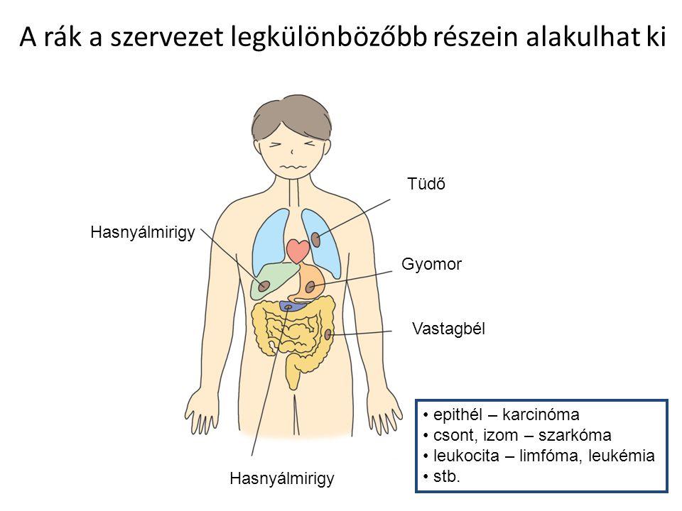 A rák a szervezet legkülönbözőbb részein alakulhat ki Hasnyálmirigy Tüdő Gyomor Vastagbél Hasnyálmirigy epithél – karcinóma csont, izom – szarkóma leu
