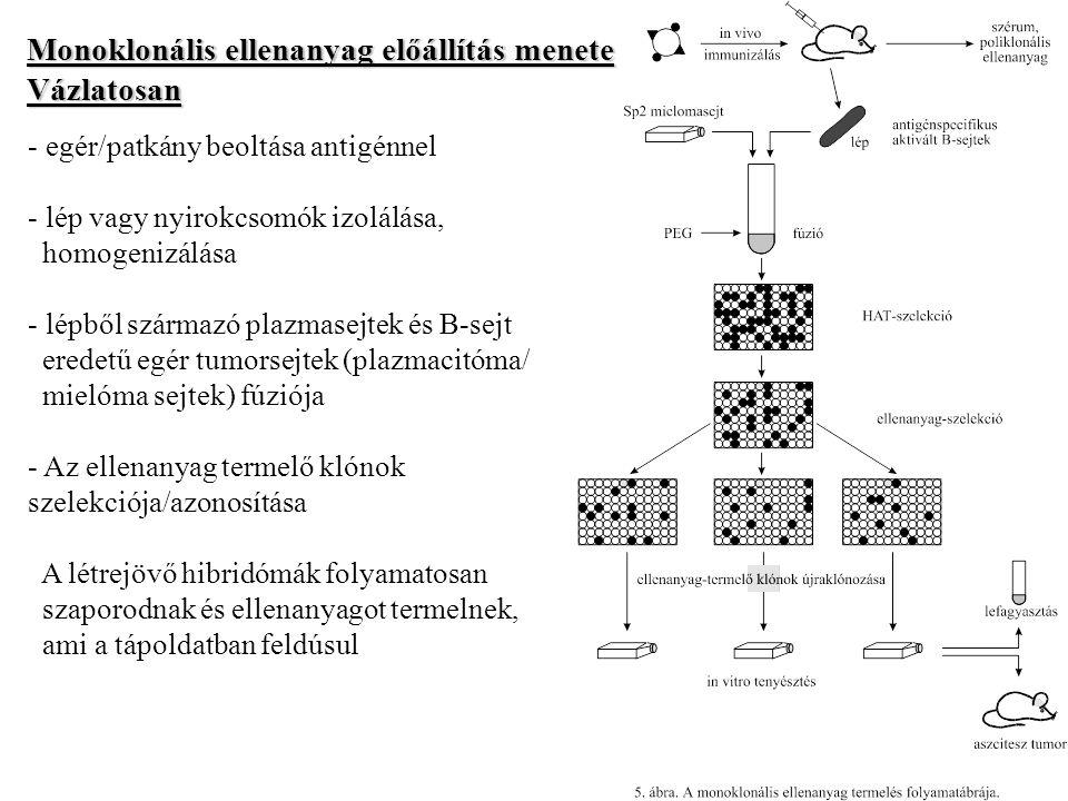 Monoklonális ellenanyag előállítás menete Vázlatosan - egér/patkány beoltása antigénnel - lép vagy nyirokcsomók izolálása, homogenizálása - lépből származó plazmasejtek és B-sejt eredetű egér tumorsejtek (plazmacitóma/ mielóma sejtek) fúziója - Az ellenanyag termelő klónok szelekciója/azonosítása A létrejövő hibridómák folyamatosan szaporodnak és ellenanyagot termelnek, ami a tápoldatban feldúsul