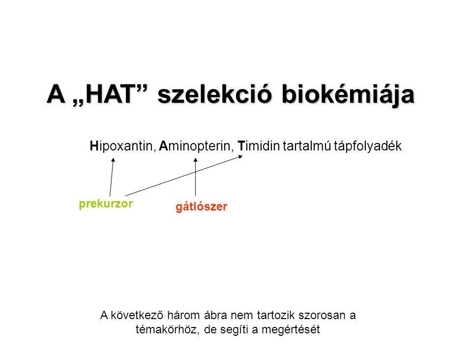 """A """"HAT szelekció biokémiája Hipoxantin, Aminopterin, Timidin tartalmú tápfolyadék A következő három ábra nem tartozik szorosan a témakörhöz, de segíti a megértését prekurzor gátlószer"""