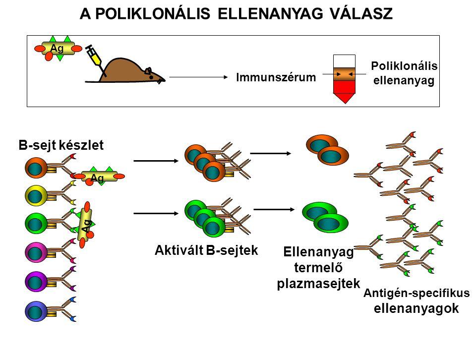 lépsejtmielómasejt (SP2) Napok alatt maguktól elpusztulnak Szaporodó sejtek Szelektív tápfolyadék érzékeny Antigén specifikus ellenanyagot termelő hibridek Nem antigén specifikus ellenanyagot termelő, vagy ellenanyagot nem termelő hibridek Sejtfúzió (animált ábra)