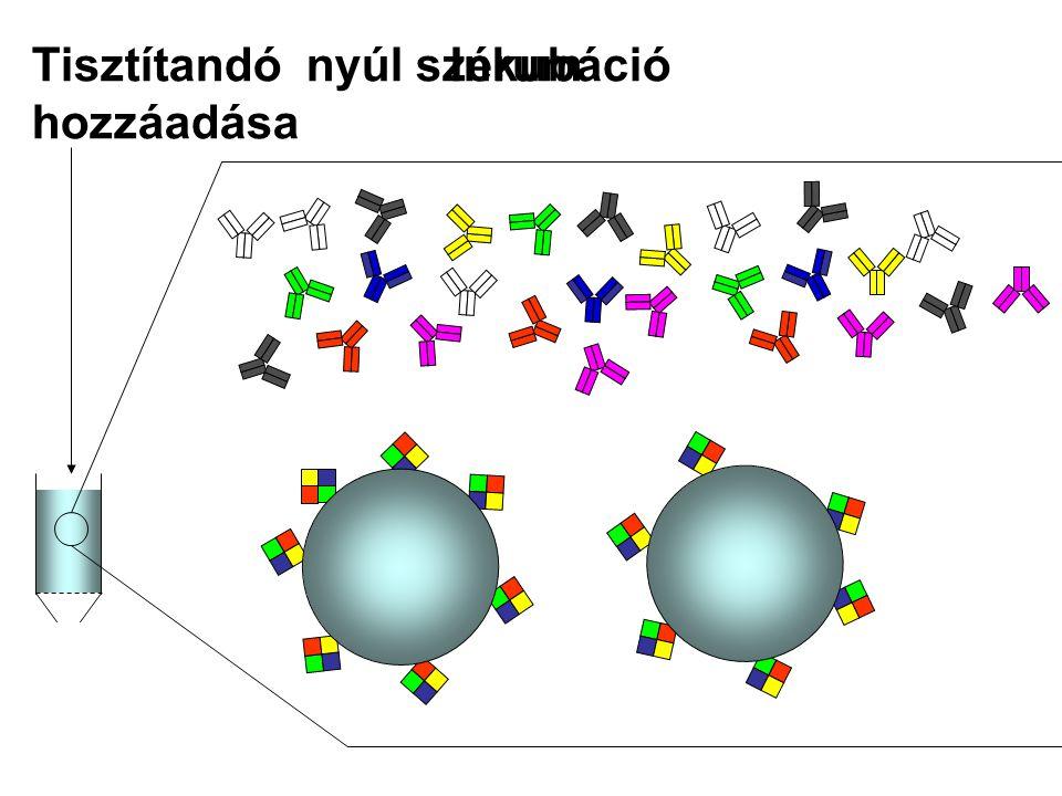 Coomassie Brillant Blue G250 festék Nem kötődő fehérjék lemosása PBS Ha nem jön le több fehérje (pl.