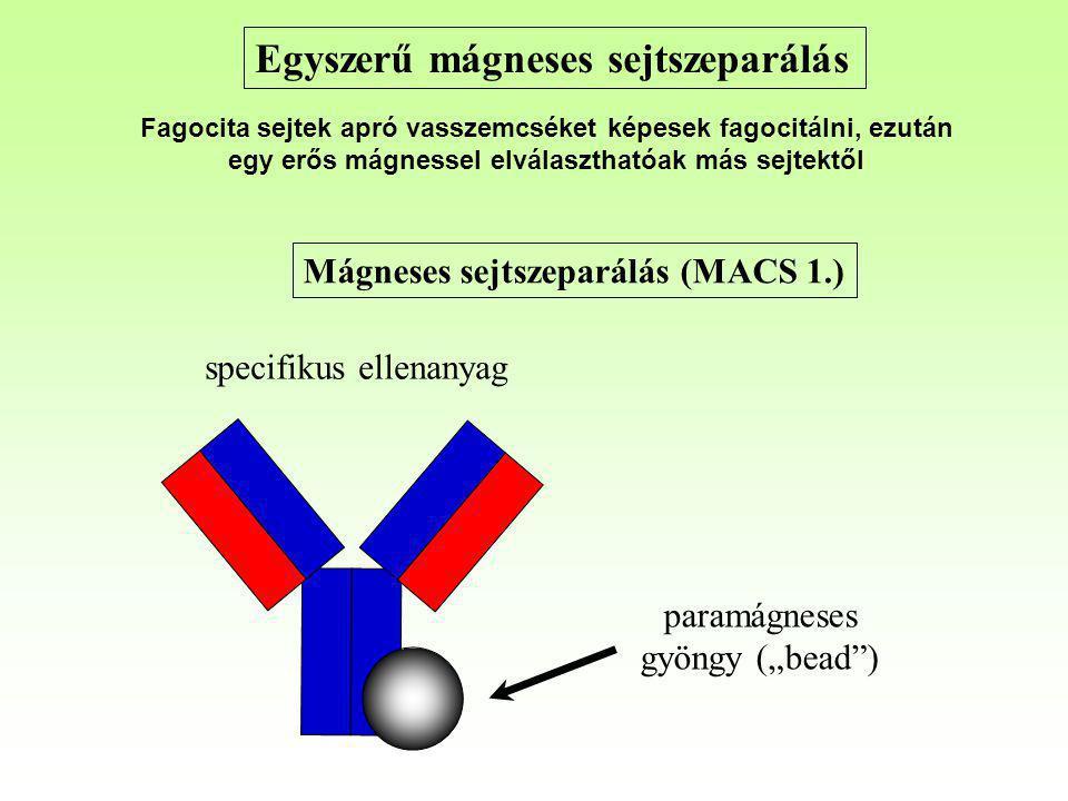 """Mágneses sejtszeparálás (MACS 1.) paramágneses gyöngy (""""bead"""") specifikus ellenanyag Egyszerű mágneses sejtszeparálás Fagocita sejtek apró vasszemcsék"""