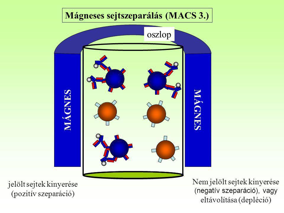 Mágneses sejtszeparálás (MACS 3.) MÁGNES oszlop Nem jelölt sejtek kinyerése (negatív szeparáció), vagy eltávolítása (depléció) jelölt sejtek kinyerése
