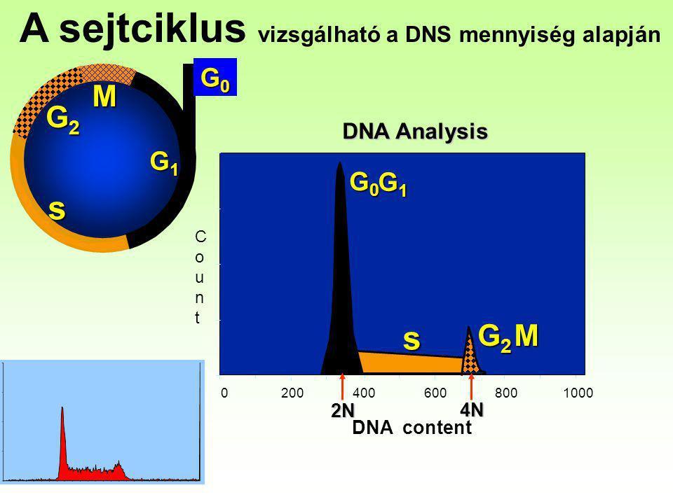 G2G2G2G2 M G0G0G0G0 G1G1G1G1 s 0 200 400 600 8001000 G0G0G0G0 G1G1G1G1 s G2G2G2G2M DNA Analysis DNA content CountCount 2N 4N A sejtciklus vizsgálható