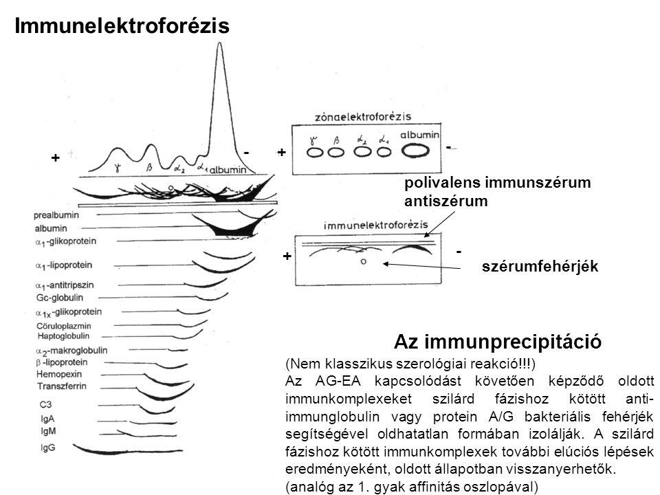Immunelektroforézis polivalens immunszérum antiszérum + +- - szérumfehérjék + - Az immunprecipitáció (Nem klasszikus szerológiai reakció!!!) Az AG-EA