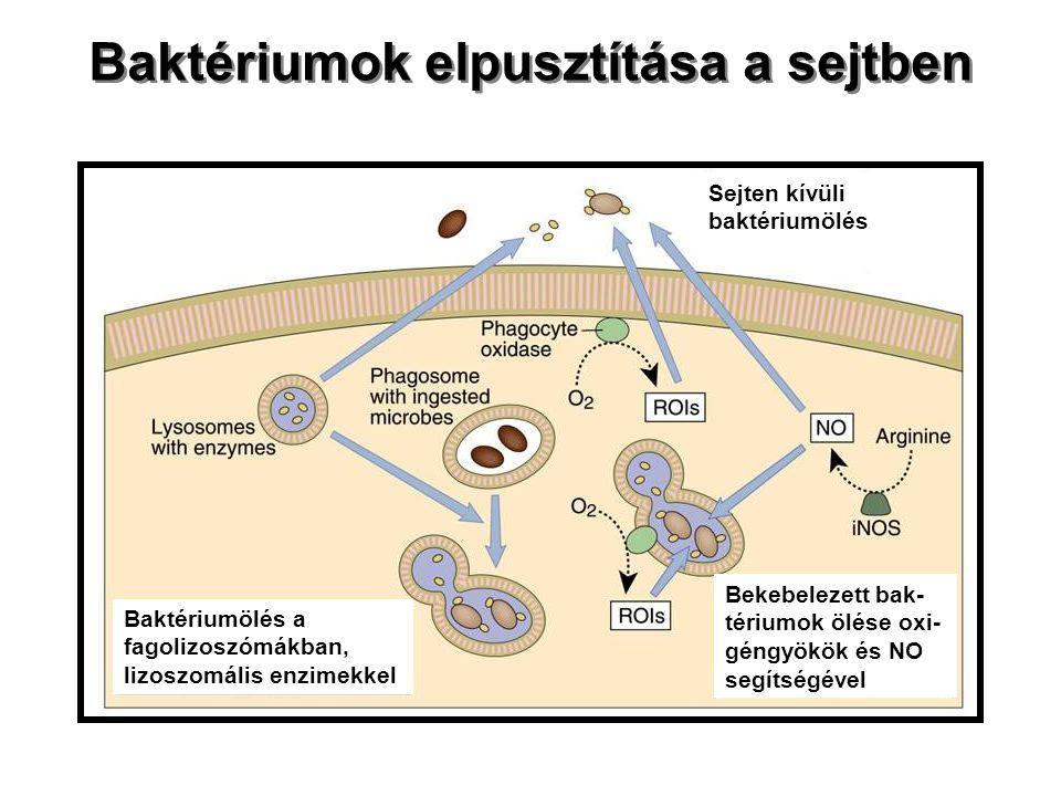 Baktériumok elpusztítása a sejtben Sejten kívüli baktériumölés Baktériumölés a fagolizoszómákban, lizoszomális enzimekkel Bekebelezett bak- tériumok ö