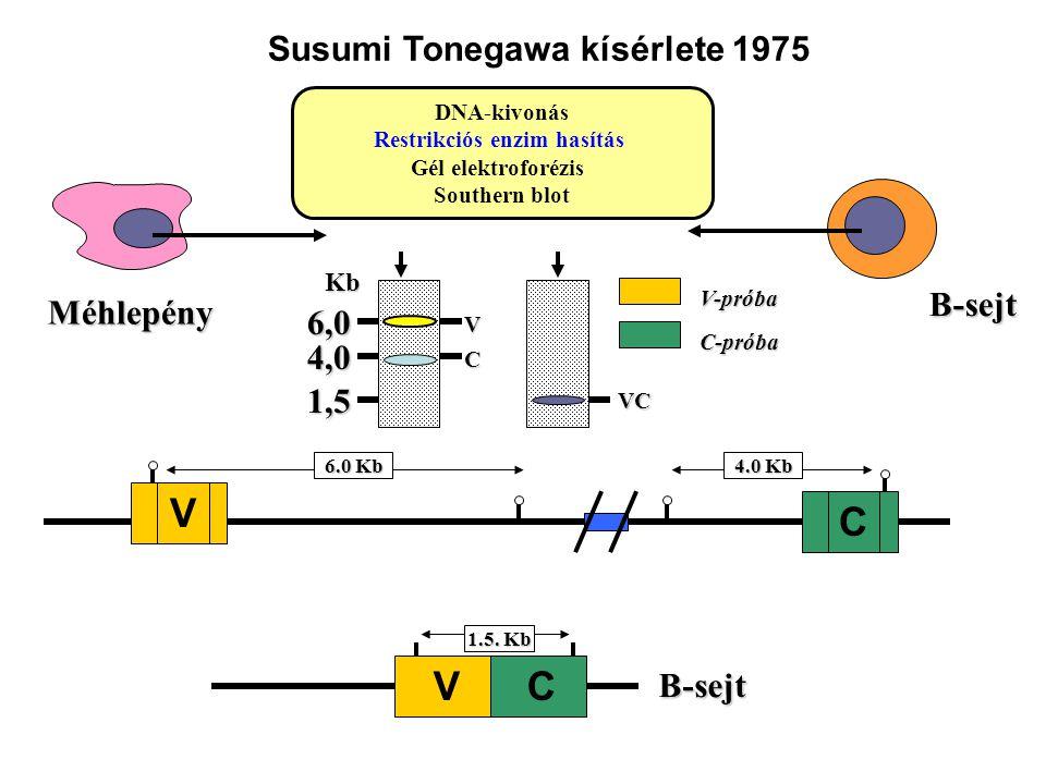 Méhlepény B-sejt 1.5. Kb B-sejt V C 6.0 Kb V C 4.0 Kb DNA-kivonás Restrikciós enzim hasítás Gél elektroforézis Southern blot VCKb6,0 1,5 V-próba 4,0 C