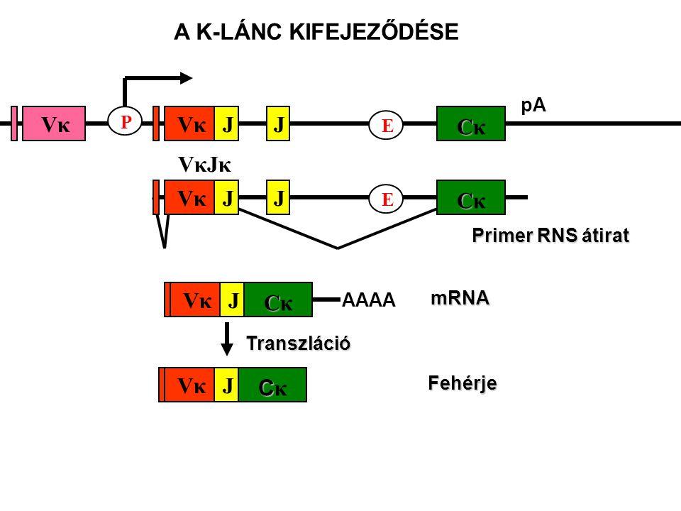 pA CCκCCκ E JJ VκJκVκJκ VκVκVκVκ P Primer RNS átirat CCκCCκ E JJVκVκ CCκCCκ JVκVκFehérje mRNA CCκCCκ JVκVκ AAAA Transzláció A K-LÁNC KIFEJEZŐDÉSE