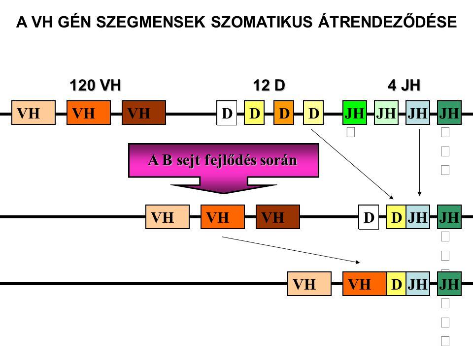 JH A B sejt fejlődés során VHJH 120 VH 4 JH VH JH 12 D DDD JH D DVH JH DDVH A VH GÉN SZEGMENSEK SZOMATIKUS ÁTRENDEZŐDÉSE D