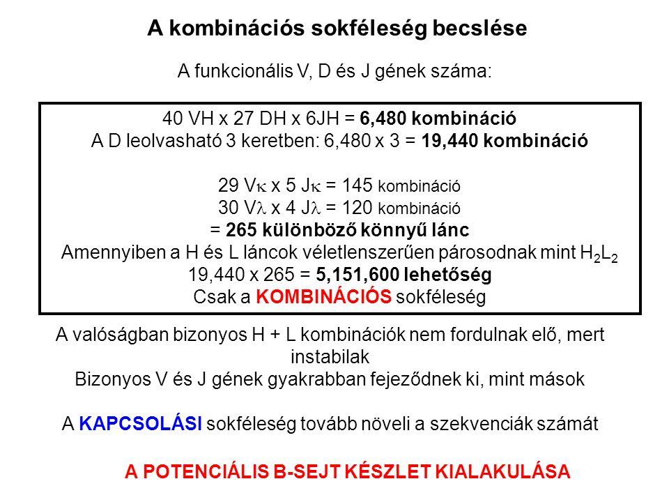 A kombinációs sokféleség becslése A funkcionális V, D és J gének száma: 40 VH x 27 DH x 6JH = 6,480 kombináció A D leolvasható 3 keretben: 6,480 x 3 =
