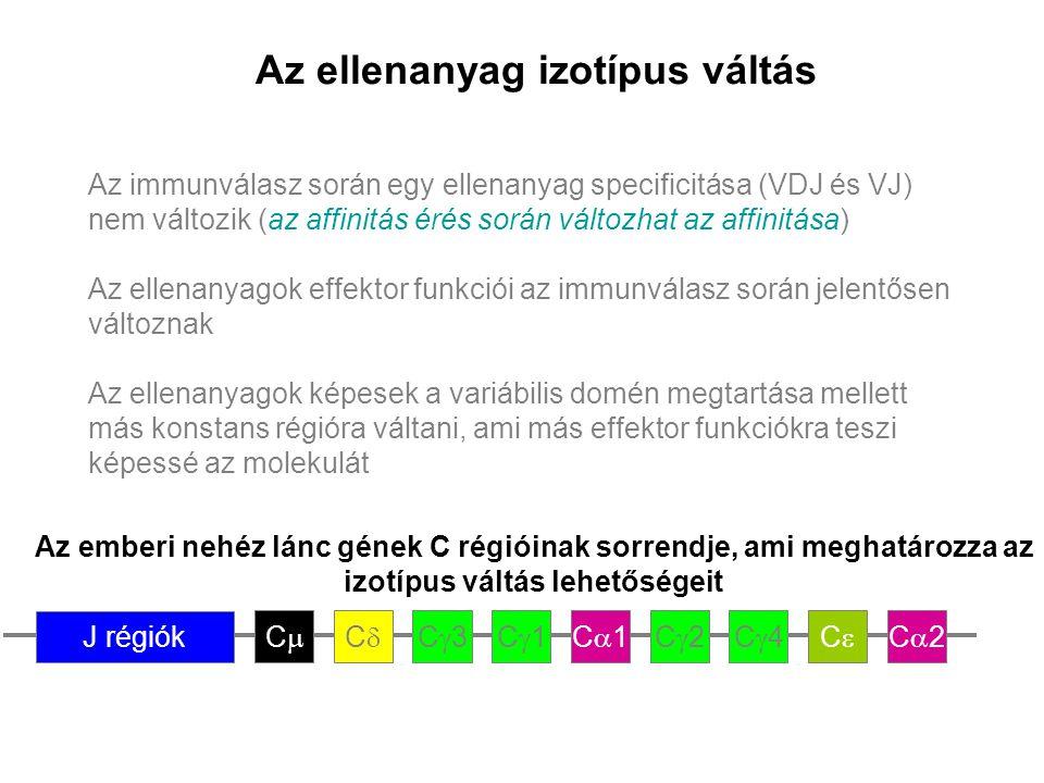 Az ellenanyag izotípus váltás Az immunválasz során egy ellenanyag specificitása (VDJ és VJ) nem változik (az affinitás érés során változhat az affinit