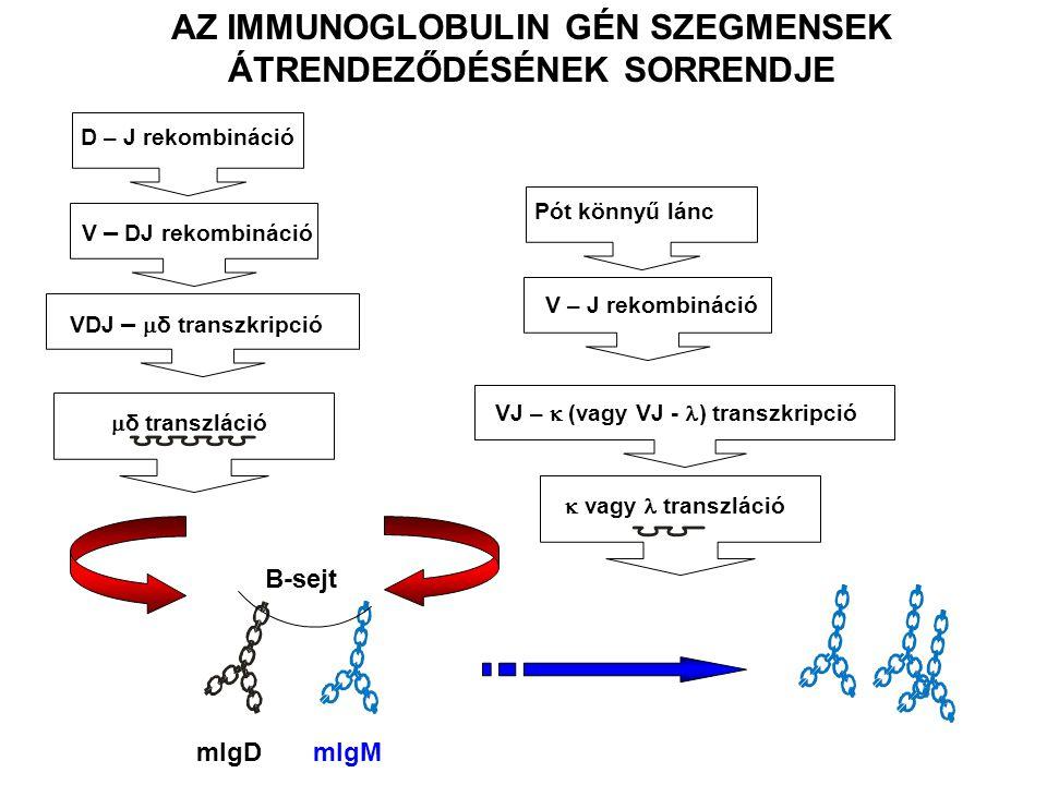 D – J rekombináció V – DJ rekombináció VDJ –  δ transzkripció  δ transzláció Pót könnyű lánc V – J rekombináció VJ –  (vagy VJ - ) transzkripció  vagy transzláció B-sejt mIgD mIgM AZ IMMUNOGLOBULIN GÉN SZEGMENSEK ÁTRENDEZŐDÉSÉNEK SORRENDJE