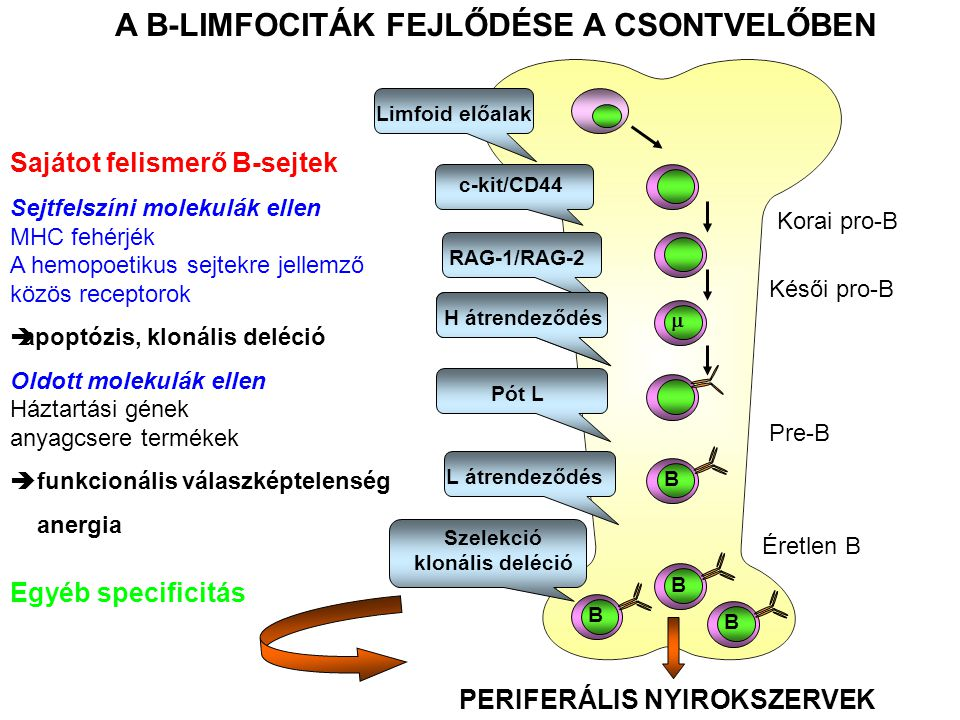BBBB c-kit/CD44 RAG-1/RAG-2 Limfoid előalak  H átrendeződés Pót LL átrendeződés Szelekció klonális deléció A B-LIMFOCITÁK FEJLŐDÉSE A CSONTVELŐBEN PERIFERÁLIS NYIROKSZERVEK Sajátot felismerő B-sejtek Sejtfelszíni molekulák ellen MHC fehérjék A hemopoetikus sejtekre jellemző közös receptorok  apoptózis, klonális deléció Oldott molekulák ellen Háztartási gének anyagcsere termékek  funkcionális válaszképtelenség anergia Egyéb specificitás Korai pro-B Késői pro-B Pre-B Éretlen B